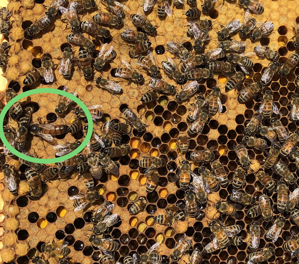 Image of a capped brood